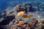 Malay_Perhentian_0128_1b_Coral-Rabbitfish_P8082005.JPG