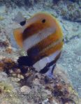 Malay_Perhentian_0141_1b_Orange-banded-coralfish_P8061808.JPG