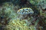 Malay_Perhentian_0143_1b_Nudibranch_P8061812.JPG