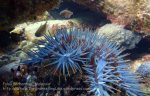 Malay_Perhentian_0144_1b_Crown-of-Thorns-Starfish_P8071958.JPG