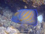 Malay_Perhentian_0166_1c_Blue-Ringed-Angelfish_P8071964.JPG