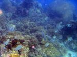 Malay_Perhentian_0261_3_Coral-and-Silver-Batfish_P8051579.JPG