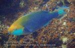 Malay_Perhentian_0266_3_Parrotfish_P8051578.JPG