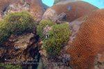 Malay_Perhentian_0369_67_Starcoral-Black-Nemos_P8051675.JPG