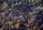 Malay_Perhentian_0385_7_Virgate-Rabbitfish-Peacock-Grouper_P8051684.JPG