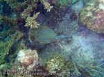 Malay_Perhentian_0402_8a_Blue-spotted-Ribbontail-ray_P8051696.JPG