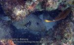 Malay_Perhentian_0480_12a_Map-Pufferfish_P8031033.JPG