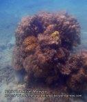 Malay_Perhentian_0527_12b_Corals_P8031070.JPG