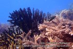 Malay_Perhentian_0565_13_Black-Coral_P8102647.JPG
