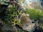 Malay_Perhentian_0596_14b_Corals_P8031106.JPG