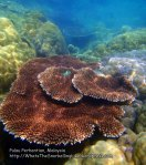 Malay_Perhentian_0598_14b_Table-coral_P8031108.JPG