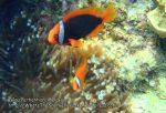 Malay_Perhentian_0601_14b_Tomato-Anemonefish_P8031120.JPG