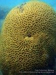 Malay_Perhentian_0642_14d_Brain-coral_P8031208.JPG