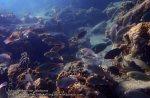 Malay_Perhentian_0848_18bc_Parrotfish_P8041439.JPG