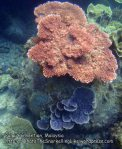 Malay_Perhentian_0868_18d_Corals_P8041470.JPG
