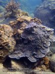Malay_Perhentian_0870_18d_Corals_P8041471.JPG