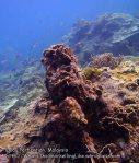 Malay_Perhentian_0881_18e_Corals_P8041483.JPG
