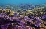 Malay_Perhentian_0985_21b_Lettuce-Coral_P8092113.JPG