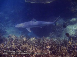 Malay_Perhentian_1027_21c_Blacktip-Shark_P8092242.JPG