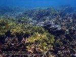 Malay_Perhentian_1033_22a_Acropora-Foliose-Corals_P8092248.JPG