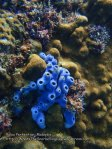 Malay_Perhentian_1054_22c_Blue-Sponge_P8092264.JPG