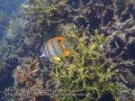 Malay_Perhentian_1066_22d_Beaked-Coralfish_P8092285.JPG