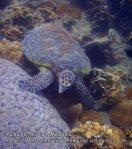 Malay_Perhentian_1072_22e_Hawksbill-Turtle_P8092307.JPG