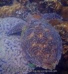 Malay_Perhentian_1073_22e_Hawksbill-Turtle_P8092310.JPG