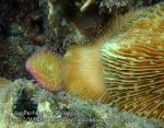 Malay_Perhentian_1092_23a_Mushroom-Corals_P8020836.JPG