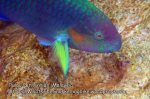 Malay_Perhentian_1094_23a_Parrotfish_P8020831.JPG
