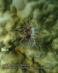 Malay_Perhentian_1123_23c_Featherduster-Worm_P8092346.JPG