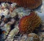 Malay_Perhentian_1124_23c_Mushroom-Coral_P8092351.JPG