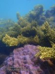 Malay_Perhentian_1136_23c_Corals_P8092361.JPG