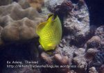 028_ab-Latticed-Butterflyfish_P1122197_.JPG