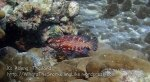 Thai_Adang_048_b-Red-Coral-Grouper_P1273737__.jpg