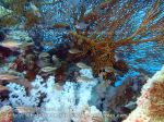 Thai_Adang_050_b-White-Saddle-Cardinalfish_P1273754_.JPG
