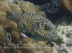 Thai_Adang_073_bc-Map-Pufferfish_P1152560_.JPG