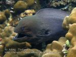 Thai_Adang_088_bc-Giant-Moray-Eel_PB290560_.jpg