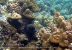 Thai_Adang_089_bc-Giant-Moray-Eel_PB290551_.JPG
