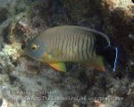 Thai_Adang_234_g-Blacktail-Angelfish_Centropyge-eibli_P1263418_.jpg
