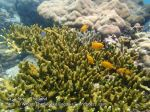 Thai_Adang_290_ijW-Green-Acropora-Yellow-Damsels_P1162716_.JPG