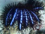Thai_Adang_310_kD-Crown-of-Thorns-Starfish_P1122189_.JPG