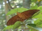 Thai_Adang_733_riverbed-Butterfly_P1193098_.JPG