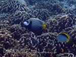 Thai_SimilansTEMP_021_Emperor-Angelfish_P4251583.JPG