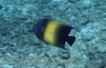 Thai_SimilansTEMP_023_Semicircle-Angelfish_P4231037.JPG