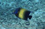 Thai_SimilansTEMP_023_Semicircle-Angelfish_P4231037.JPG