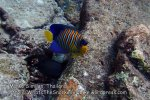 Thai_SimilansTEMP_025_Regal-Angelfish_P4271938.JPG
