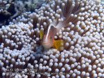 Thai_SimilansTEMP_026_Skunk-Anemonefish_P4292177.JPG