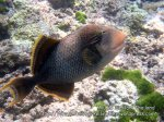 Thai_SimilansTEMP_036_Yellowmargin-Triggerfish_P4190023.JPG