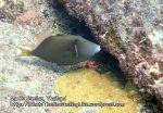 Thai_SimilansTEMP_037_Flagtail-Triggerfish_P4190064.JPG